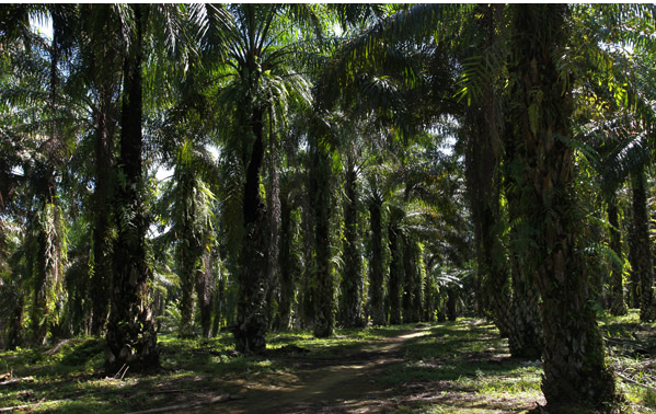The way out for palm oil producers of Indonesia