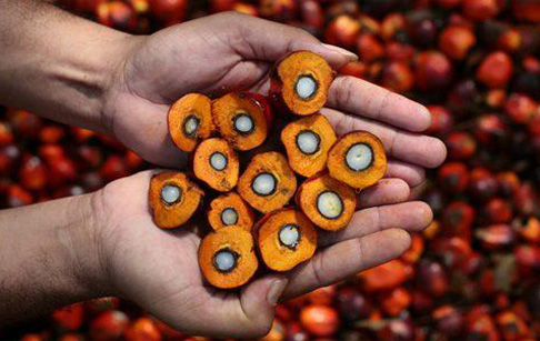 Introduction to palm oil tree