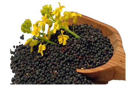 What's the rapeseed oil benefits ?